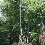 Mangrove, dominican republic